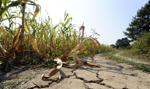 Rolnicy muszą przyzwyczaić się do suszy