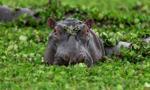 Hipopotamy Pablo Escobara uznane za osoby prawne
