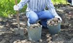 Polacy mniej chętnie sięgają po ziemniaki
