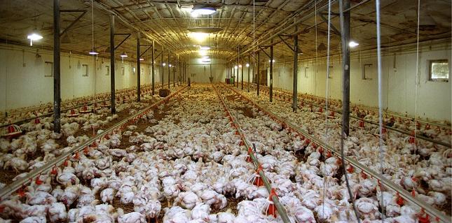 Krajowa Rada Drobiarstwa: eksport drobiu do Chin może zwiększyć się dziesięciokrotnie
