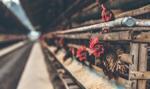 Dramatyczna sytuacja hodowców drobiu w Polsce