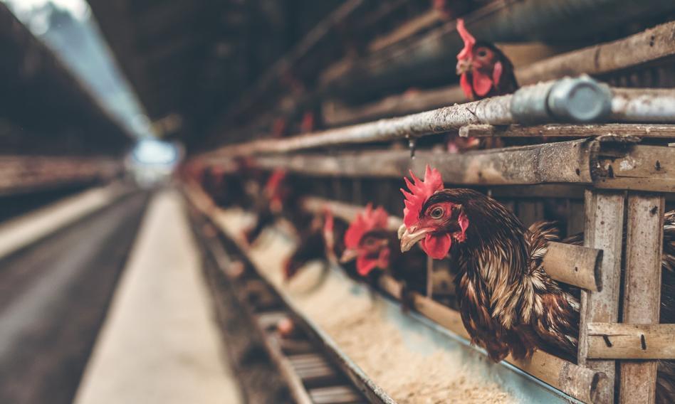 Branża: całkowite odejście od chowu klatkowego kur jest niemożliwe