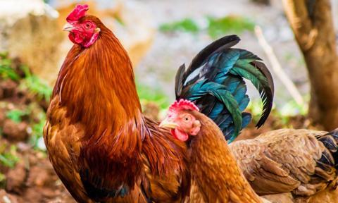 W IV kwartale ceny mięsa drobiowego będą spadać