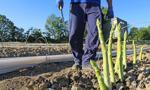 """""""Rheinische Post"""": Dla Polaków praca przy zbiorach szparagów w Niemczech nie jest już opłacalna"""