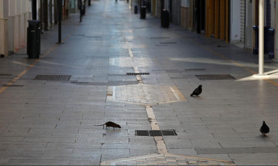 Władze Madrytu walczą z plagą szczurów