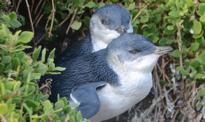 Australia zburzyła osiedle, by ratować pingwiny