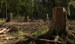 NIK: nieprawidłowości przy usuwaniu drzew i zagospodarowaniu drewna