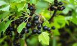 Rząd chce dać 600 zł na ha rolnikom uprawiającym czarną porzeczkę