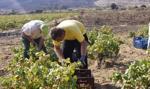 Francja: najmniejsze zbiory winogron od ponad pół wieku