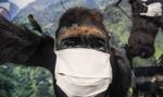 Małpy ukradły próbki krwi chorych na Covid-19