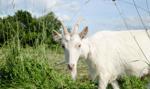 Litwa: kozy na ratunek wydmom na Mierzei Kurońskiej