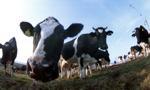 Producenci bydła: ceny bydła spadły średnio o ok. 15 proc.