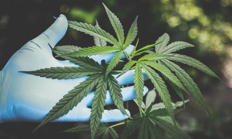 Legalizacja marihuany coraz bliżej? Do końca roku założenia pakietu projektów ustaw konopnych